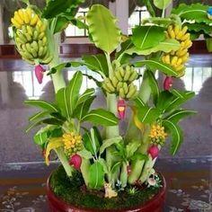 Bonsai banana tree