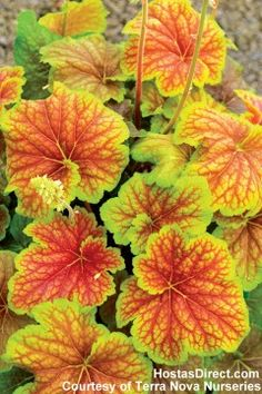 Hostas, Heuchera (Coral Bells) Plants for Sale: varieties/types Buy Plants, Shade Plants, Cool Plants, Garden Plants, Pergola Garden, Coral Bells Heuchera, Leaf Coloring, Colored Highlights, Shade Garden