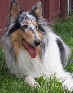 Faith the blue mmerle Rough Collie is laying in grass in a yard next to a red wooden fence with her mouth open and tongue hanging out