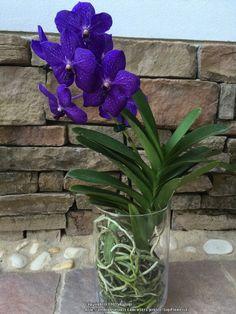 Vanda (Vanda'Pachara Delight') | mm  Vanda linda plantada na garrafaeria
