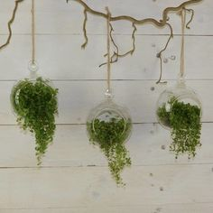 Set Of Three Small Globe Hanging Terrarium - plants & trees Hanging Glass Planters, Plant In Glass, Hanging Air Plants, Hanging Gardens, Terrarium Plants, Succulent Terrarium, Succulent Wall, Cactus Plants, Hanging Orchid