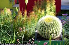 Echinocactus, Aulax cancellata....