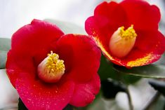 Japanese camellia (Tsubaki) LOVE this color! Japanese Flowers, Organic Living, Rustic Gardens, Red Aesthetic, Flower Tattoos, Botany, Red Flowers, Rose, Planting Flowers
