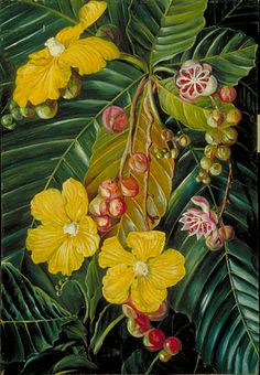 Foliage, Flowers and Fruit of a Swamp Shrub of Borneo . by marianne north