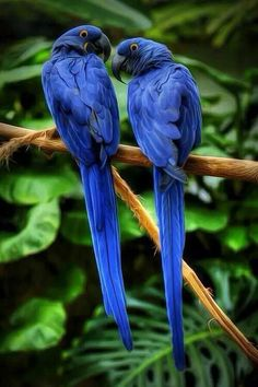 Colorful birds - A pair of purple Macaw parrots.i just love the purple Pretty Birds, Love Birds, Beautiful Birds, Animals Beautiful, Stunningly Beautiful, Beautiful Pictures, Absolutely Stunning, Animals Amazing, Small Birds