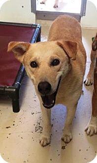 Bryan, TX - Shepherd (Unknown Type) Mix. Meet , a dog for adoption. http://www.adoptapet.com/pet/16122095-bryan-texas-shepherd-unknown-type-mix