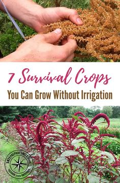 7 Survival Crops You Can Grow Without Irrigation — Grow your own survival crops when needed with out the worry of irrigation. I have always wondered what staple crops I could have to grow if SHTF and not worry to much about irrigation.