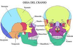 Ossa del Cranio Health Heal, Dentistry, Biology, Anatomy, Pikachu, Family Guy, Medical, Study, Dental