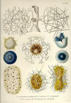 These are the 35 copper plates that accompanied Ernst Haeckel's Radiolaria book from 1862.This volume has kindly been provided by Prof. Dr. Peter von Sengbusch (Institut für allgemeine Botanik, Hamburg, Germany).  The 35 plates were scanned by Kurt Stüber.    Tafel_32.jpg (850×1237)