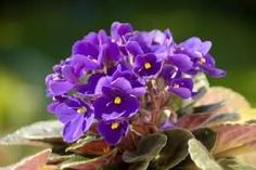 The African Violet is a hearty plant that adds just a spot of vibrant color even in a room that gets little or no direct sunlight.