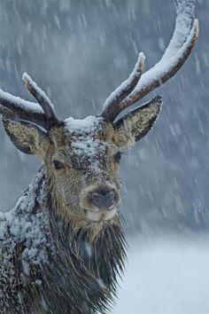 Red deer in winter storm Brian Chard - The red deer (Cervus elaphus) is one of the largest deer species. The red deer inhabits most of Europe, the Cau Vida Animal, Mundo Animal, Nature Animals, Animals And Pets, Cute Animals, Wild Animals, Wildlife Nature, Animals In Snow, Baby Animals