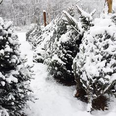 The local Christmas :christmas_tree: lot was jammed with trees that looked like they had been there a long time. Many of us feel it's not Christmas until the snow falls. Apparently there is a Polar Vortex coming our way with sub zero temperatures, glad we