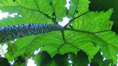 gunnera, jardin jungle karlostachys, eu, normandie