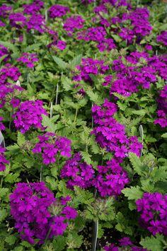 Verbena 'Superbena Purple' (2)
