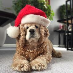 Santa's helper! Cocker Spaniel Charm. My baby.
