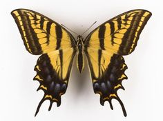 Papilio multicaudata, two-tailed swallowtail butterfly, dried specimen, Mexico
