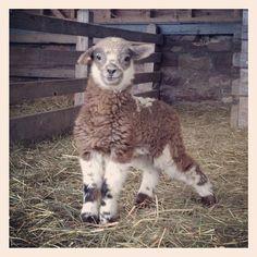 Baby lamb at Shelburne Farms