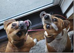 Puggles!