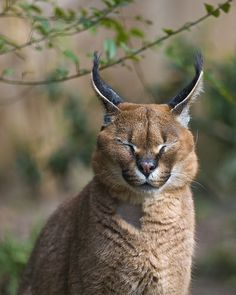 """The caracal is a medium sized cat which it spread in West Asia, South Asia, and Africa. The word Caracal is from Turkey """"Karakulak"""" which means """"Black Ears"""". Here is all about caracal as a pet. Caracal Caracal, Serval Cats, Caracal Kittens, Beautiful Cats, Animals Beautiful, Cute Animals, Cute Creatures, Beautiful Creatures, Sand Cat"""
