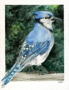 Blue Jay Watercolor by ~M-Everham on deviantART