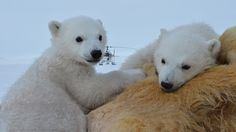 BBC Two Polar Bear Family And Me - Miki and Luca
