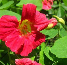 nasturtium pink