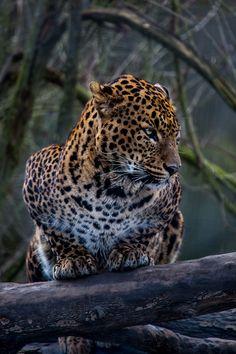 Sir Lankan Leopard by Corentin Foucaut