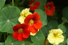 Nasturtium Flowers – How To Grow Nasturtiums. Part sun to part shade.