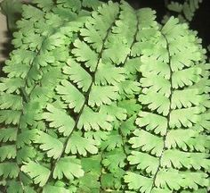 Adiantum caudatum - Trailing Maidenhair | Draping and cascading habit. The new growth is tinged pink. Prefers partial shade and always moist but not soaking soil, let dry out a bit at top (but only the top!) in between waterings. Loves being misted.