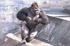 みんな間違いがちだからここで言っておく!ゴリラがドラミングする時は、手は握ってない!!注意しろ!!僕も昔間違ってた!!