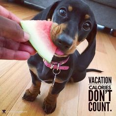 """10 Likes, 2 Comments - Dachshund Quotes & Pictures (@mydachshundfamily) on Instagram: """"I agree... . @winifred_dachshund"""""""