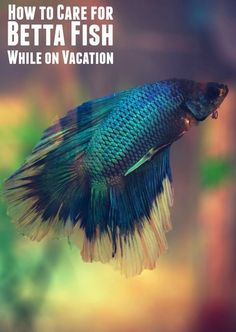 How to Care for Betta Fish When on Vacation