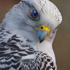 The Gyrfalcon. Photo by: Scott McDaniel, visit his @500px page at 500px.com/scottamcdaniel Explore. Share. Inspire: #earthfocus #FF #beautiful #beauty #tagforlikes