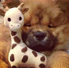 my chow chow puppy & giraffe