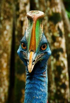 Due to ongoing habitat loss, habitat degradation, being hunted for food, and often being kept in captivity, the Cassowary bird is threatened on the IUCN Red List of Threatened Species. Do your part to spread wareness by sharing this beautiful bird.