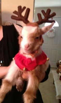 Glad I'm not the only one that dresses up their goats Farm Animals, Animals And Pets, Cute Animals, Cute Goats, Funny Goats, Tiny Goat, Baby Goats, Pygora Goats, Goat Care