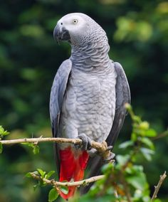 African Gray the smartest bird on earth