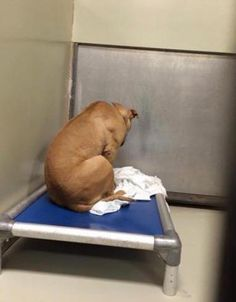 A rescue dog now spendshis days staring at a blank wall after his would-be adoptees pulled out at the last minute.  Photographs of March, a pit mix, showthe canine in the depths of depression.