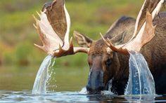 Moose waterfall!
