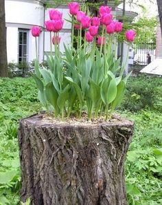 """Ich finde diese #Tulpen """"im"""" #Baumstamm einfach eine tolle #Idee für den #Garten."""