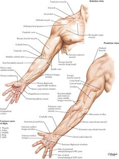 anatomy of a human arm – Anatomy facts Upper Limb Anatomy, Anatomy Study, Anatomy Drawing, Anatomy Art, Anatomy Reference, Heart Anatomy, Shoulder Muscle Anatomy, Human Muscle Anatomy, Human Anatomy And Physiology