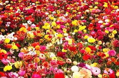 get rid of tough belly fat & cellulite & reduce stretch marks. 10 drops/each of Aromatouch Cypress Ginger Geranium lemongrass Slim & Sassy Grapefruit into bottle fill the rest with Fractionated Coconut oil and shake to mix. Beautiful Flowers Images, Beautiful Flowers Wallpapers, Flower Images, Flower Pictures, Pretty Flowers, Carlsbad Flower Fields, Fresh Flowers Online, 800 Flowers, Different Types Of Flowers