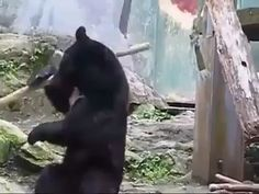 This bear practicing his kung fu bo staff skills fun funny funny pics Funny Animal Videos, Funny Animal Pictures, Best Funny Pictures, Animals And Pets, Funny Animals, Cute Animals, Animal Funnies, Funny Pets, Baby Animals