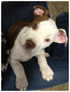 Bailey - Pit Bull Puppy