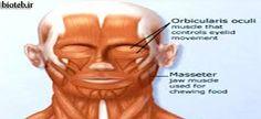 مياستنيگراواختلال عضلات سروصورت،خستگي وضعف پيشرونده درطي استفاده ازعضلات.اين اختلال عضلات اطراف چشم،دهان وگلووانتهاي اندامهارادرگيرمي سازد. http://bioteb.ir/10780