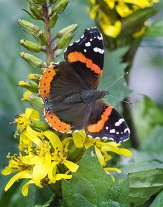Red Admiral butterfly is found in hammocks, marshes, swamps, and along canals throughout Florida.