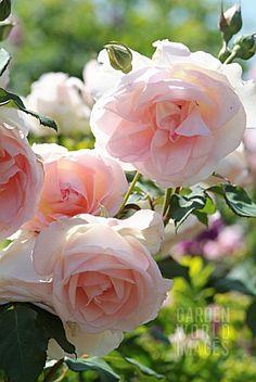 ROSA 'SANDRINE' ® EVESAN (ROSE). HYBRID OF MODERN. EVE 1975. ROSERAIE ANDRÉ EVE. PITHIVIERS
