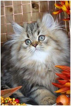 53 Ideas Cats Beautiful Fluffy Kittens For 2019 Fluffy Kittens, Cute Cats And Kittens, I Love Cats, Crazy Cats, Cool Cats, Kittens Cutest, Pretty Cats, Beautiful Cats, Animals Beautiful