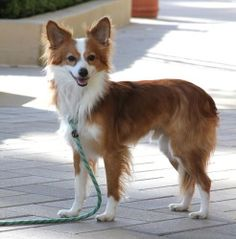 this dog looks like a fox! I love dogs that look like foxes!