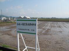 【御田植】平成24年5月26日、伝統的稲作行事『御田植』(主催・巴会)が行われる田んぼです。今後、稲作に関連する様々な伝統行事が行われます。